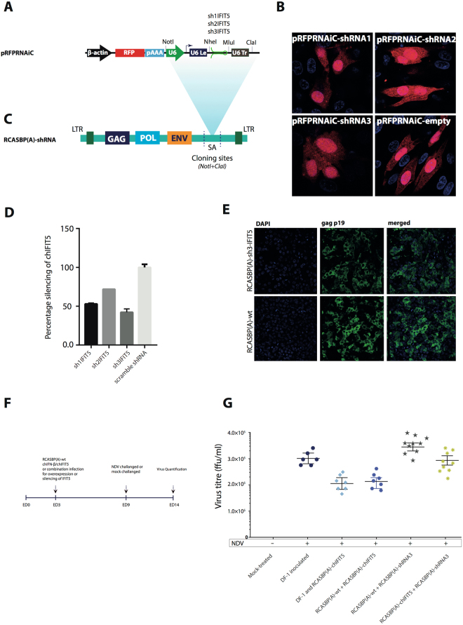 Silencing of endogenous chIFIT5 gene in transgenic chicken embryos and impact on the virus replication. ( A ) Three shRNA targeting exon 2 of chIFIT5 were cloned in pRFPRNAiC vector between NheI and MluI downstream to the chicken U6 promoter. ( B ) DF-1 cells were transfected with 500 ng of pRFPRNAiC-shRNA plasmid expressing each of the cloned shRNA or empty vector. The expression of RFP marker gene demonstrates the integrity of the constructs. ( C ) Transfer of validated shRNA (shRNA #3) cassette between NotI and ClaI sites in RCASBP(A) vector. ( D ) Silencing efficacies of all three chIFIT5-targeted shRNA compared to scrambled (non-targeting) shRNA. DF-1 cells, transfected with 500 ng of each of the plasmids, were used to extract total cellular RNA and the level of chIFIT5 gene silencing was monitored using qRT-PCR. ( E ) Retroviruses were rescued in DF-1 cells and stained for structural gag protein indicating the replication-competency of these retroviruses. ( F ) Infectious cells stably expressing pre-validated shRNA against chIFIT5 gene were inoculated in 3 days old chicken embryos and allowed to develop until 9 days post-embryonation when 100 FPUs of NDV were inoculated per transgenic egg and the quantification of the virus replication was performed on day 14 post-embryonation. ( G ) Quantitative analysis of viruses in NDV-infected and un-infected transgenic embryos expressing shRNA, wt chIFIT5 or shRNA-resistant chIFIT5. Each dot represents individual chicken embryo in all experimental groups.