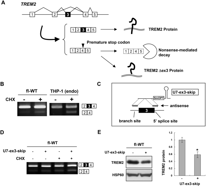Exon 3 splicing of TREM2 is a determinant of its protein expression. ( A ) Schematic model of TREM2 exon 3 splicing. Exon 3 inclusion leads to expression of full-length TREM2 protein. Exon 3 skipping would result in either expression of a TREM2 isoform lacking exon 3 or degradation of mRNA via nonsense-mediated mRNA decay (NMD) due to production of a premature termination codon in exon 4. ( B ) Exon 3 is alternatively spliced in THP-1 cells. The splicing patterns of TREM2 in fl-WT and THP-1 cells with or without cycloheximide treatment, an NMD inhibitor, are shown. ( C ) Schematic illustration of U7-ex3-skip containing antisense sequences to both the branch point of intron 2 and exon/intron junction of exon 3. ( D ) fl-TREM2 (WT) cells were treated with U7-ex3-skip and/or CHX and the splicing patterns were analyzed by RT-PCR. The exon 3-skipped pattern was increased by U7-ex3-skip and further enhanced by CHX, suggesting that some of the spliced products of exon 3 skipping were degraded by NMD. ( E ) Western blot analysis of TREM2 expression in fl-WT cells with or without transfection of U7-ex3-skip (left panel). The bar chart shows the quantification of the western blot results (mean ± SE). *P = 0.003 in a two-tailed t -test (n = 6). Original gel images and western blot data are shown in Supplementary Fig. S8 .