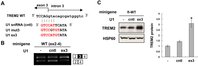 Induction of exon 3 inclusion of fl-WT minigene increased TREM2 protein expression. ( A ) Structure of the 5′ end of unmodified U1 snRNA (cntl) and modified U1 construct based on U1mut3 but matches wild-type (WT) exon 3. ( B ) Splicing assay of WT(ex2-4) minigene transfected with unmodified U1 snRNA or the U1-ex3 construct in HEK cells. ( C ) U1-ex3 increased TREM2 protein expression from the fl-WT minigene in HEK cells. Western blot analysis of TREM2 expression (left panel). Bar chart shows the quantification of the western blot results (mean ± SE, n = 4). *P = 0.00013 (- vs . ex3) and P = 0.0007 (cntl vs . ex3) in Tukey's multiple comparison test. Original gel images and western blot data are shown in Supplementary Fig. S8 .