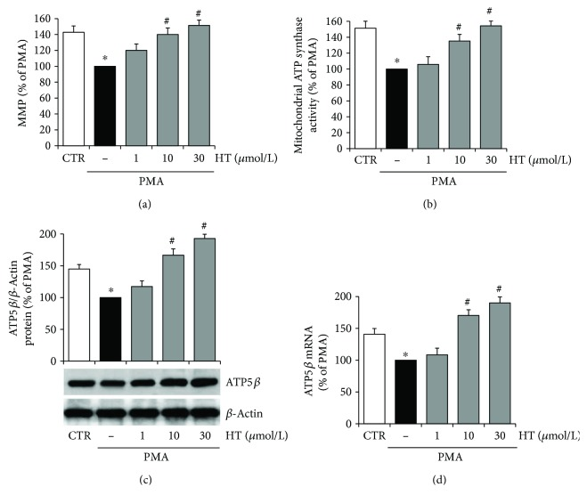HT improves mitochondrial function in PMA-stimulated endothelial cells. HUVEC were pretreated with HT (1–30 μ mol/L) for 1 h and then stimulated with PMA (10 nmol/L) for further 16 h. After treatments, MMP was assayed by using JC-1 staining and evaluated by using a fluorescence plate reader (a). Mitochondrial oligomycin-sensitive <t>ATP</t> synthesis was measured in endothelial cells incubated in the absence (−) or in the presence of HT (1–30 μ mol/L) (b). The expression of β subunit of ATP <t>synthase</t> was evaluated at protein (c) and mRNA levels (d) by Western blotting or quantitative RT-PCR, respectively. ATP5 β protein expression was normalized to β -actin, and ATP5 β mRNA amount was normalized to Gapdh mRNA. Data are representative of four independent experiments (mean ± SD), each consisting of four replicates for each condition, and expressed as percentage of PMA-stimulated endothelial cells. ∗ p