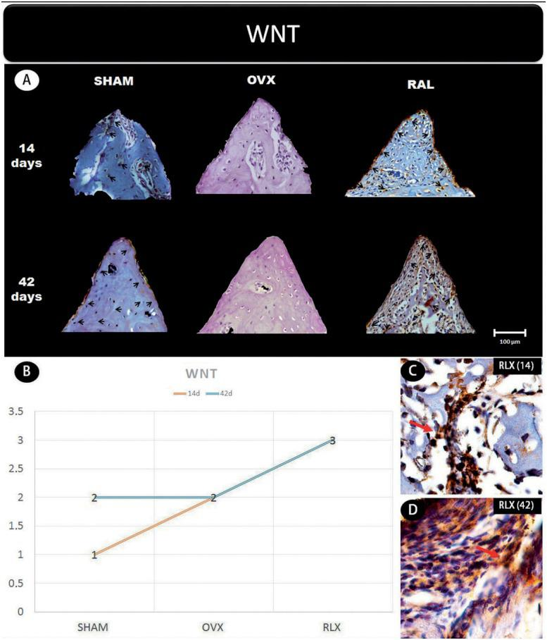 (A) Photomicrographs in a higher original objective (x40) of the different groups (SHAM, OVX, and RLX) and periods (14 and 42 days), in which is possible to observe an increased area of diaminobenzidine-stained cells (brown areas) around the peri-implant bone where the biomarker WNT were intense, represented by black arrows, denoting an improvement in the bone formation; (B) The chart shows the scores submitted to the Kappa test, in which the index was adjusted to > 0.8, representing the expression of WNT among the groups and in both periods; (C and D) Photomicrographs in a higher original objective (x100) about the 14 and 42 days of peri-implant bone healing from RLX group showing an intense labeling of WNT pathway represented by red arrows