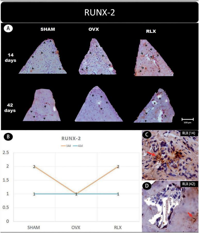 (A) Photomicrographs in a higher original objective (x40) of the different groups (SHAM, OVX, and RLX) and periods (14 and 42 days), in which is possible to observe an increased area of diaminobenzidine-stained cells (brown areas) around the peri-implant bone where the biomarker RUNX-2 were intense, represented by black arrow, denoting a greater active of the osteoblastogenesis; (B) The chart shows the scores submitted to the Kappa test, in which the index was adjusted to > 0.8, representing the expression of RUNX-2 among the groups and in both periods; (C and D) Photomicrographs in a higher original objective (x100) about the 14 and 42 days of peri- implant bone healing from RLX group showing a moderate labeling for 14 days and middle labeling for 42 days of the biomarker RUNX-2 represented by red arrows