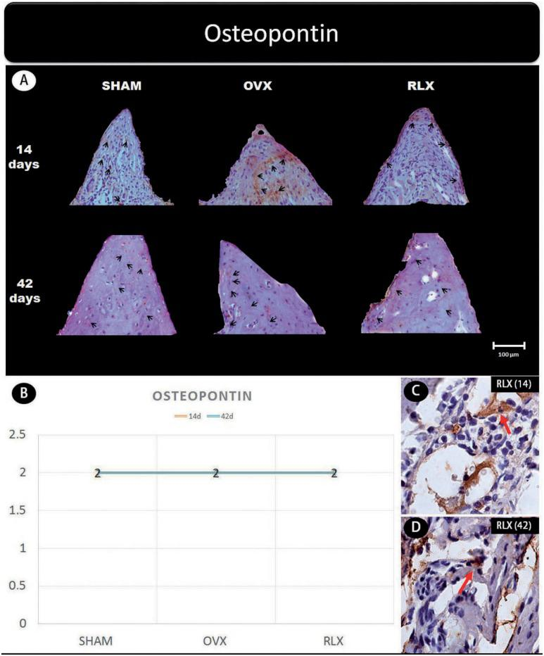 (A) Photomicrographs in a higher original objective (x40) of the different groups (SHAM, OVX, and RLX) and periods (14 and 42 days), in which is possible to observe an increased area of diaminobenzidine-stained cells (brown areas) around the peri-implant bone where the biomarker osteopontin were intense, represented by black arrows, denoting an improvement in the bone mineralization; (B) The chart shows the scores submitted to the Kappa test, in which the index was adjusted to > 0.8, representing expression of osteopontin among the groups and in both periods; (C and D) Photomicrographs in a higher original objective (x100) about the 14 and 42 days of peri- implant bone healing from RLX group showing a moderate labeling of the biomarker osteopontin represented by red arrows