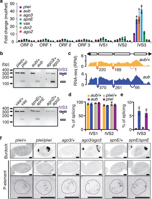 piRNAs, but not siRNAs, modulate P -element splicing in germ cells All analyses were performed in a Harwich background. a , RT-qPCR analysis on piRNA- ( piwi , aub , ago3 , spnE , and vas ) and siRNA-biogenesis ( dcr2 and ago2 ) mutant adult ovaries. Results are presented as means of fold changes in mutants in relation to respective heterozygote ± standard deviation (n > =2 independent biological replicate experiments). b , Ethidium bromide-stained gel displaying RT-PCR reactions with primers flanking the P -element IVS3 intron in piRNA- and siRNA-biogenesis mutants. Size scale in base pairs (bp) is presented for each gel. Experiments were repeated two times with similar results. For gel source data, see Supplementary Figure 1 . c , Density plots for normalized strand-specific mRNA steady-state levels (measured by RNA-seq and represented as reads per million, RPM) over consensus P -element sequence (top diagram) in aub /+ heterozygous (yellow, top plot) and aub mutant (blue, bottom plot) adult ovaries. The number and position of split-reads (represented by arcs that connect exons) observed for IVS1, IVS2, and IVS3 splicing junctions is shown below each density plot. Experiments were repeated two times with similar results. d-e , Percentage of splicing for P -element IVS1, IVS2 ( d ), and IVS3 ( e ). Splicing was quantified using RNA-seq analysis in aub /+ heterozygous (yellow), aub mutant (blue), piwi /+ heterozygous (beige), and piwi mutant (purple) adult ovaries. Percentage of splicing was calculated as the number of split-reads for each splicing junction normalized to the total number of reads mapping to the same junction. Results are represented as means ± standard deviation (n=2 independent biological replicate experiments). f , Representative confocal projections of RNA-FISH signal (grayscale) showing the accumulation of sense RNA for Burdock and P -element transposons in heterozygous and mutant egg chambers. Bottom panels depict projections of representative 