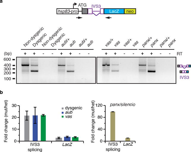 ' P -cytotype' as well as piRNA pathway components involved in piRNA biogenesis and targeting regulate the splicing of the IVS3 transgenic reporter in vivo a. Ethidium bromide-stained gel displaying RT-PCR reactions with primers flanking the transgenic reporter IVS3 intron. Analysis was performed with adult ovaries of non-dysgenics and dysgenic flies grown at 18°C, or with adult ovaries of heterozygous and mutants for the piRNA components aub , vas , and Panx/Silencio . Mutant analyses were performed in a Harwich background, at 29°C. Size scale in base pairs (bp) is presented for each gel. Control reactions omitting Reverse Transcriptse (RT-) are also presented. Diagram of IVS3 transgenic reporter (as in Figure 3a) and primers (arrows) used in RT-PCR reactions are depicted in the top of the ethidium bromide-stained gel. Experiments were repeated two or more times with similar results. For gel source data, see Supplementary Figure 1 . b . RT-qPCR analysis using adult ovaries of [F1] progeny carrying the IVS3 reporter, probing spliced (IVS3 splicing, quantified using primers that specifically anneal to spliced transgenic transcripts) and total ( LacZ , quantified using primers that anneal within the LacZ coding sequence) IVS3 reporter transgenic mRNA levels. [F1] progeny was originated either from reciprocal crosses between Harwich strain and w 1118 flies, or in aub /+ heterozygous, aub mutant, vas /+ heterozygous, vas mutant, panx /+ heterozygous, and panx mutant. Results are presented as mean-fold changes in the mutants (or in dysgenic) in relation to the respective heterozygous siblings (or non-dysgenic) ± standard deviation (n > =2 independent biological replicate experiments).