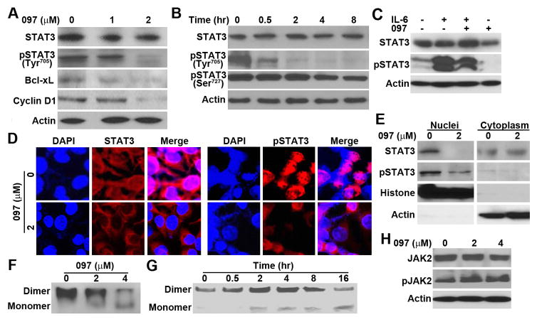 Effect of BMA097 on STAT3 phosphorylation and activation (A–B) BMA097 inhibition of constitutive STAT3 phosphorylation. MDA-MB-231 cells were treated with different concentrations of BMA097 for 24 hrs (A and D) or at 2 μM for different times (B) followed by Western blot analysis of total and phosphorylated STAT3. STAT3 downstream target proteins Bcl-xL and Cyclin D1 were also tested. Actin was used as a loading control for Western blot. (C) BMA097 inhibition of IL-6-induced STAT3 phosphorylation. Serum-starved MDA-MB-231 cells were pre-treated with BMA097 and then with IL-6 followed by Western blot analysis of total and Tyr 705 -phosphorylated STAT3. (D–E) BMA097 effect on pSTAT3 subcellular localization. MDA-MB-231 cells were treated without or with BMA097 for 24 hrs followed by immunofluorescence staining or fractionation and Western blot analysis of Tyr 705 -phosphorylated STAT3. DAPI was used to counterstain nuclei in panel D. Histone and actin were used as markers for nuclear and cytoplasmic fractions, respectively, in panel E. (F–G) Effect of BMA097 on STAT3 dimerization. MDA-MB-231 cells were treated with BMA097 as described in panel A followed by separation using non-denaturing PAGE and Western blot analysis of STAT3. (H) Effect of BMA097 on JAK2 activation. MDA-MB-231 cells were treated with BMA097 followed by Western blot analysis of total and Tyr 1007/1008 -phosphorylated JAK2.