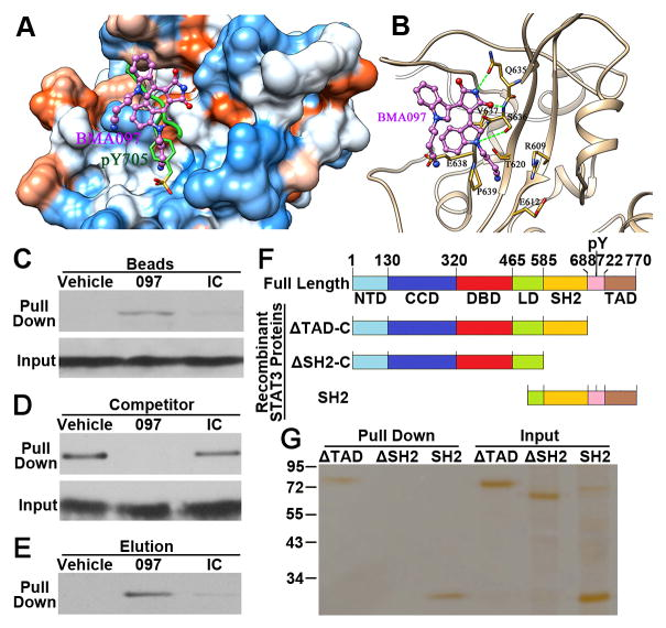 Binding of BMA097 to the SH2 domain of STAT3 (A–B) The predicted BMA097 -binding pocket (A) and binding mode (B) in the SH2 domain of STAT3. Molecular surface in (A) is colored by dodger blue for the most hydrophilic to orange red for the most hydrophobic. The green lines in (B) indicate H-bonds. (C) Pull-down assay. Total lysate from MDA-MB-231 cells were subjected to pull-down assay by CNBr-immobilized BMA097 , an irrelevant compound (IC) or vehicle control followed by Western blot analysis of pull-down materials using STAT3 antibody. (D–E) Competition of STAT3-binding to immobilized BMA097 (D) or elution of STAT3 bound to the immobilized BMA097 (E) by excess free BMA097, DMSO vehicle control, or an irrelevant negative control compound (IC). (F) Schematic domain structures of STAT3 and of recombinant proteins. NTD, amino terminal domain; CCD, coiled coil domain; DBD, DNA-binding domain; LD, linker domain; SH2, Src homology 2 domain; TAD, transactivation domain. (G) Pull-down assay of purified recombinant STAT3 proteins with different deletions by immobilized BMA097.