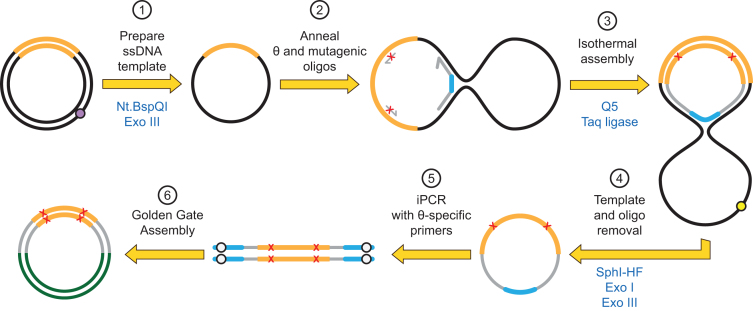 Darwin Assembly using a θ oligonucleotide. Here, a single θ oligonucleotide is used in place of the two boundary oligonucleotides allowing enzymatic cleanup after the assembly reaction. Plasmid DNA (black, with the gene of interest in orange) is nicked by a nicking endonuclease (at the purple dot) and the nicked strand degraded by exonuclease III (1). Inner oligonucleotides and a single θ oligonucleotide are annealed to the ssDNA plasmid (2). The θ oligonucleotide encodes both assembly priming and termination sequences linked by a flexible linker such that successful assembly of the mutated strand results in a closed circle (3). The template plasmid can now be linearized (e.g. at the yellow dot, by adding a targeting oligonucleotide and appropriate restriction endonuclease) and both exonuclease I and exonuclease III added to degrade any non-circular DNA (4). The mutated gene can now be amplified from the closed circle by PCR (5) and cloned into a fresh vector (6) using the type IIS restriction sites (white dots).