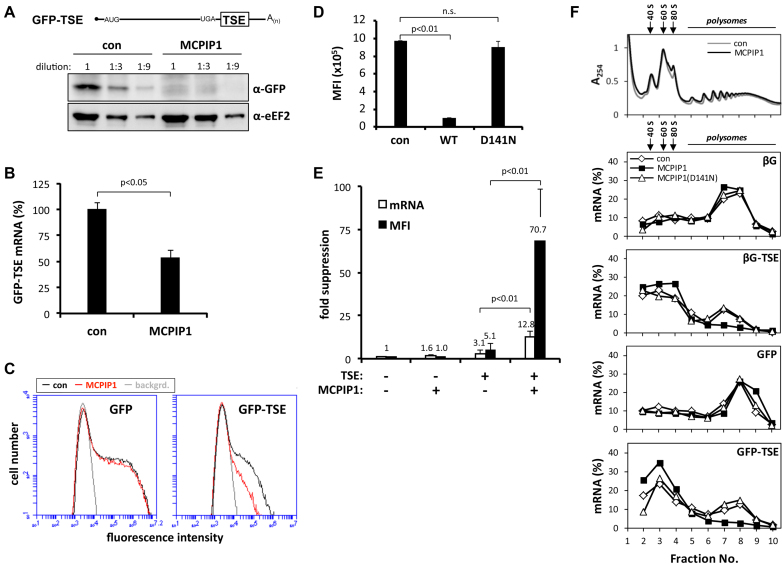 Increased TSE-mediated translational silencing in cells overexpressing MCPIP1. ( A ) HEK-293 cells were co-transfected with a GFP expression plasmid containing the TSE in its 3′ UTR (GFP-TSE) without (con) or with strep-tagged MCPIP1. Cell lysates were subjected to western blot in serial dilutions using antibodies against GFP or eEF2 as a loading control. ( B ) GFP-TSE mRNA was quantified by RT-qPCR (mean ± SD of quadruplicates from one out of three experiments with similar results). ( C ) HEK-293 cells were transfected with plasmids encoding GFP mRNAs without (GFP) or with the NFKBIZ TSE (GFP-TSE) together with empty vector (con) or strep-tagged MCPIP1 as indicated. Fluorescence intensity was determined by flow cytometry. ( D ) Mean fluorescence intensities (MFI,±SD of triplicates; n.s., not significant) of cells transfected with plasmids encoding GFP-TSE together with empty vector (con) or strep-tagged WT or RNase-deficient MCPIP1 (D141N). ( E ) Fold suppression of protein (determined as MFI) and mRNA amounts (determined by RT-qPCR and normalized to GAPDH mRNA) by the TSE or by strep-MCPIP1 expression or both was calculated by setting the values for GFP mRNA without TSE and in the absence of strep-MCPIP1 as 1 (mean ± SD, n = 5). Similar results were observed in two independent assays. ( F ) Cytoplasmic lysates from HEK-293 cells transfected with plasmids encoding β-globin (βG) or GFP mRNAs without or with the TSE and co-transfected with empty vector (con) or plasmids for strep-tagged WT or catalytically inactive MCPIP1 were fractionated on sucrose gradients. A typical result of adsorbance profiles at 254 nm for cells expressing empty vector (con) or strep-MCPIP1 is shown in the top panel. The amounts of mRNA in each fraction were determined by RT-qPCR and expressed in per cent of the sum detected in all fractions. Positions of ribosomal subunits, ribosomes and polysomes are indicated. The result is representative of three independent experiments.