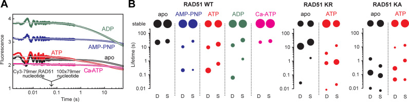 Rapid kinetics of human RAD51 dissociation from ssDNA. ( A ) RAD51 (5 μM) was preincubated with 40 nM (3.16 μM nt) 5′-Cy3-dT 79 in the absence (apo) or presence of the indicated nucleotides (1 mM), and rapidly mixed in the stopped-flow with 4 μM (316 μM nt) unlabeled dT 79 (post-mixing concentrations stated). Transient Cy3 fluorescence levels are shown relative to that of RAD51-free 5′-Cy3-dT 79 . Multi-exponential best-fits ( Eq. S1 ) are shown in grey. ( B ) Lifetime components of dissociation transients of RAD51 WT, RAD51 KR and RAD51 KA. Distribution of lifetimes (τ i = 1/ k i values, cf. Eq. S1 ) of dissociation transients recorded in (A) under 'disperse' (D, 0.5 μM RAD51) and 'saturated' (S, 5 μM RAD51) conditions. Areas of symbols are proportional to fractional amplitudes of the individual phases ( A i values, cf. Eq. S1 ). Results are shown as average values for two datasets.