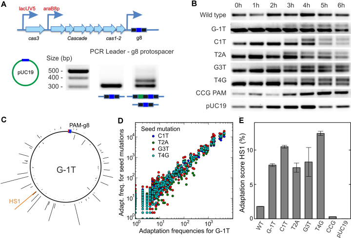 Priming by g8 target variants. ( A ) Scheme of the E. coli KD263 CRISPR locus. The cas gene expression is controlled by inducible promoters. The CRISPR array consists of a single g8 spacer (blue boxes) surrounded by two repeats (black boxes). Priming is induced by transforming the cells with pUC19 plasmids carrying the protospacer variants. Incorporation of new spacers (green box) is revealed using PCR amplification of the CRISPR array and agarose gel electrophoresis. ( B ) Incorporation of new spacers probed at different times after induction for the indicated g8 protospacer variants. ( C ) Mapping of spacers acquired from the G-1T variant target protospacer plasmid to the pUC19 backbone (see Supplementary Figure S7 for other target variant plasmids). The height of the histogram bars corresponds to the number of HTS reads found for a particular position. The location of the priming protospacer and the PAM is shown as a blue-red box. The histogram entry in orange marks the hotspot HS1, which was used for semi-quantitative measurements of the primed adaptation efficiency (see E). ( D ) Position-dependent acquisition frequency for targets with seed mutation plotted over the acquisition frequency for the G-1T PAM mutation target. A high correlation between spacer acquisition patterns of all tested target variants (see Supplementary Figure S7B for correlation coefficients) is apparent. ( E ) Relative frequency of priming (i.e. CRISPR array extension) probed by qPCR with a primer specific for the frequently incorporated protospacer HS1 (see C) for the different target variants. Error bars represent the standard deviation of three repeat measurements.
