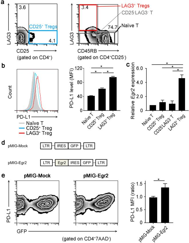 Egr2-mediated PD-L1 induction in CD4 + T cells. (a) LAG3 expression in splenocytes from C57BL/6 (B6) mice was analyzed by flow cytometry (FCM). CD25 + Tregs: CD4 + CD25 + T cells; naïve T: CD4 + CD25 − CD45RB high T cells; LAG3 + Tregs: CD4 + CD25 − CD45RB low LAG3 + T cells. (b) PD-L1 expression in T cell subsets. Histograms are gated on CD4 + T cells (left). Data are representative of three independent experiments. Mean fluorescence intensity (MFI) of the indicated T cell subsets is shown (right). (n = 3 per group). * p