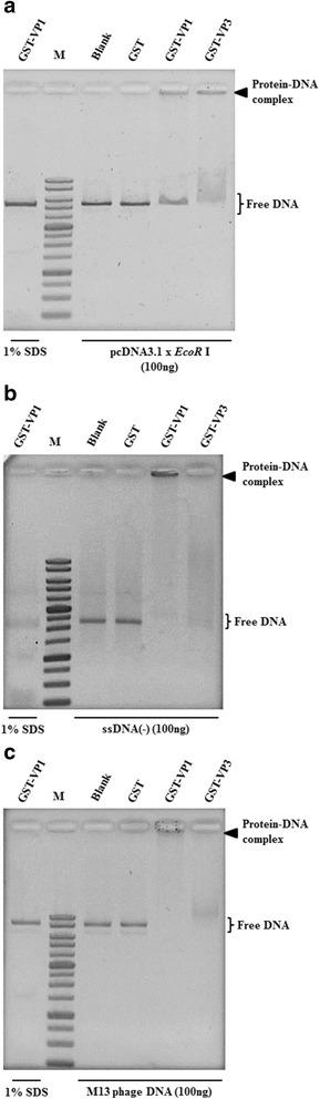 """VP1 protein binds to various DNA molecules. Purified GST and GST-fused proteins were used for analysing the interaction of recombinant proteins with various DNA samples, such as linear dsDNA ( a ), minus-strand ssDNA ( b ), and M13mp18 phage DNA ( c ). All DNA samples were generated by different preparations as described in the Materials and Methods. After the agarose gel shift assay, the DNA fragment signals were observed by EtBr staining. The 1% SDS (underline lane-labelled 1% SDS) was also used to confirm the retardation caused by tested proteins. Lane M, DNA ladder marker. Bold triangles indicate the protein-DNA complex formed by the tested protein and DNA molecules. The """"pcDNA3.1 x Eco R I"""" indicated generation of the linear form of pcDNA3.1 DNA digested by Eco R I"""