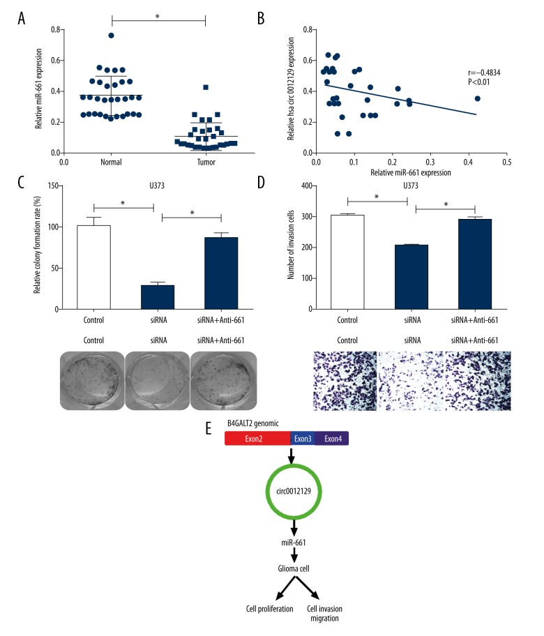 Circular RNA (circRNA), hsa-circ-0012129 knockdown inhibits glioma cell proliferation and invasion by targeting miR-661. ( A ) Quantitative real-time polymerase chain reaction (qRT-PCR) was used to detect the expression level of the microRNA, miR-661 in glioma tissues and normal tissues (* P