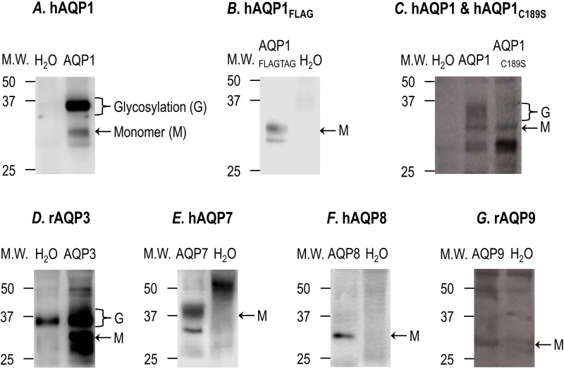 Surface expression of hAQP1, hAQP1 FLAG , hAQP1 C189S , rAQP3, hAQP7, hAQP8 and rAQP9 versus H 2 O-injected control oocytes. The surface expression of hAQP1, hAQP1 C189S mutant, rAQP3, hAQP7, hAQP8 and hAQP9 monomers (∼28 kDa) is shown by immunoreactive bands detected at a molecular weight (MW) between 25 and 37 kDa, using polyclonal antibodies (anti-AQP1, anti-AQP3, anti-AQP7, anti-AQP8 and anti-AQP9, respectively). The surface expression of hAQP1 FLAG monomer is shown by a band at a MW between 25 and 37 kDa, using a monoclonal antibody anti-FLAG. All the western blots show the absence of this immunoreactive bands in the H 2 O-injected control oocytes. Oocytes from 8–18 different frogs (i.e. batches of oocytes) were analyzed for surface expression, depending on the AQP construct used.