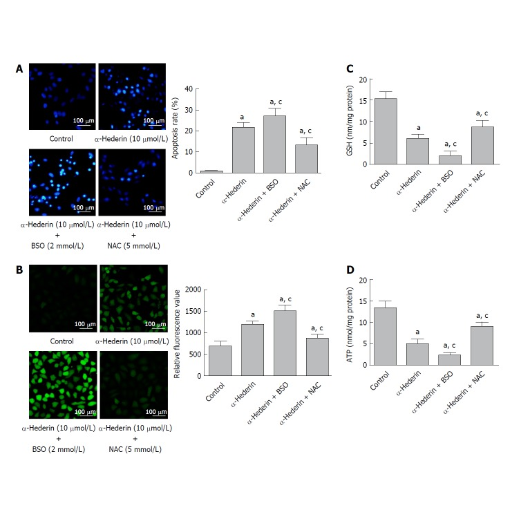 BSO and NAC influence the α-hederin-induced apoptosis of SMMC-7721 cells. SMMC-7721 cells were incubated with α-hederin (10 μmol/L) with or without BSO (2 mmol/L) or NAC (5 mmol/L) pretreatment. A: Cell apoptosis was determined by <t>Hoechst</t> 33258 staining; B: ROS levels in SMMC-7721 cells; C and D: Effect of α-hederin on intracellular GSH and ATP levels. a P