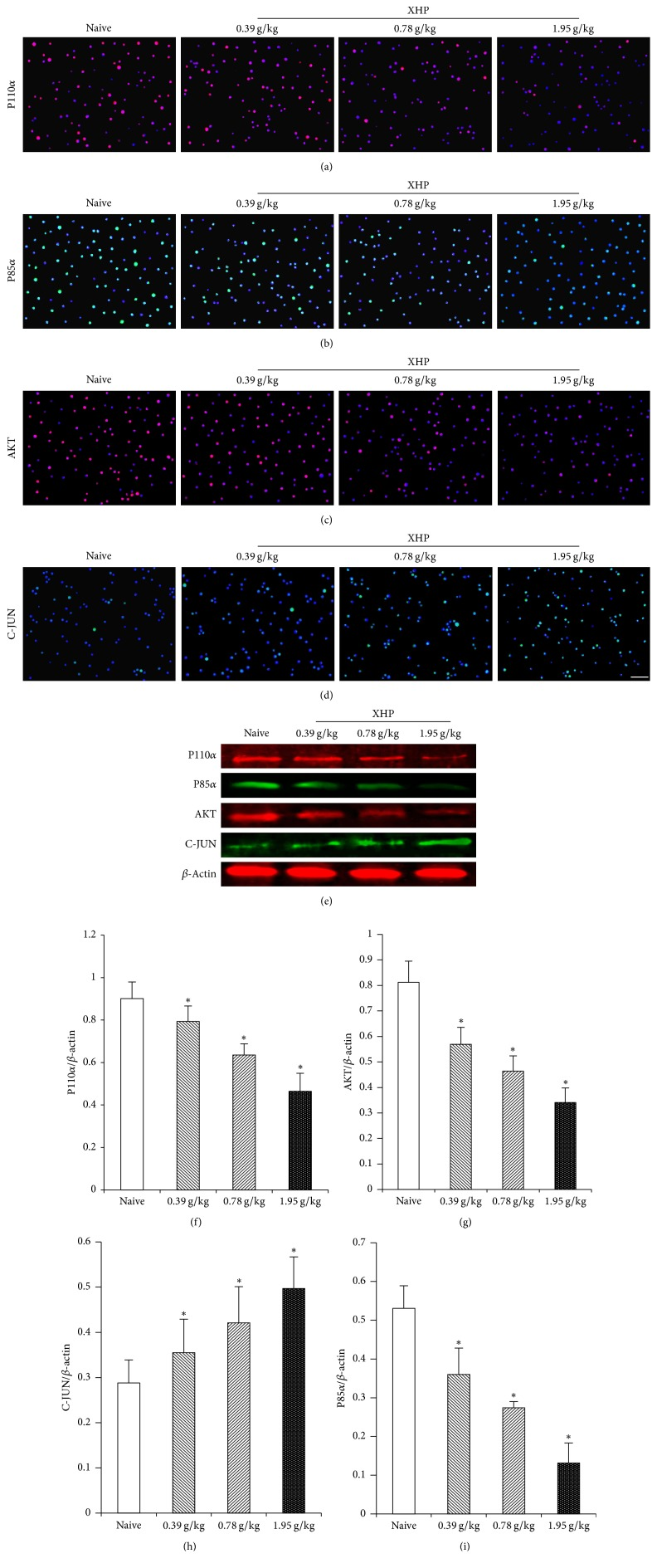 (a), (b), (c), and (d): the protein expression of P110 α , P85 α , <t>AKT,</t> and <t>C-JUN</t> on Treg cells in the tumor microenvironment by IF assay. (e): the protein expression of P110 α , P85 α , AKT, and C-JUN on Treg cells in the tumor microenvironment by WB. (f), (g), (h), and (i): the protein expression of P110 α , AKT, C-JUN, and P85 α in the Treg cells in the tumor microenvironment was expressed as the ratio of the gray level of each protein to the β -actin band.