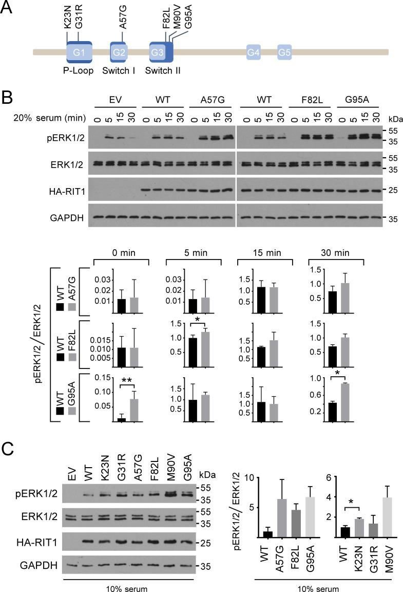 Expression of RIT1 mutants enhances phosphorylation of ERK1/2. (A) Schematic representation of RIT1 with selected NS-associated amino acid substitutions. RIT1 isoform 2 (protein RefSeq NP_008843.1) comprises 219 amino acids and has five conserved GDP/GTP binding motifs (G1 to G5, light blue). Motifs representing the P-loop and switch I and II regions are shown in dark blue. The P-loop binds γ-phosphate of GTP and GDP, the switch regions are critical for GDP/GTP binding and for interaction with upstream and downstream partners. RIT1 amino acid substitutions identified in patients with NS and selected for functional studies in this work are given in the one-letter code above the scheme. (B) HEK293T cells were transfected with empty vector (EV) or constructs expressing HA-RIT wildtype (WT), HA-RIT1 p.A57G, p.F82L, or p.G95A as indicated. Cells were serum-starved (0.1% serum) and subsequently stimulated with 20% serum for 5, 15, or 30 min or left untreated (0 min). Cell extracts were analyzed by immunoblotting using anti-phospho-ERK1/2 (pERK1/2) and anti-ERK1/2 (ERK1/2) antibodies. Expression of HA-tagged RIT1 protein variants was monitored by immunoblotting using anti-HA antibody, and anti-GAPDH antibody was used to control for equal loading. Data shown are representative of three independent experiments. Autoradiographic signals were quantified by scanning densitometry. Levels of phosphorylated ERK1/2 were normalized relative to amounts of total ERK1/2. To conserve the relative variance of the samples, values for RIT1 wildtype and mutants were divided by the mean of the wildtype samples [ 79 ]. Graphs show phosphorylation levels upon serum starvation (0 min) and after 5, 15, and 30 min serum stimulation in cells expressing RIT1 wildtype (WT), RIT1 p.A57G, p.F82L or p.G95A (arbitrary units). The mean of three independent experiments ± SD is given. Unpaired t -tests were used to determine statistical significance (*, P