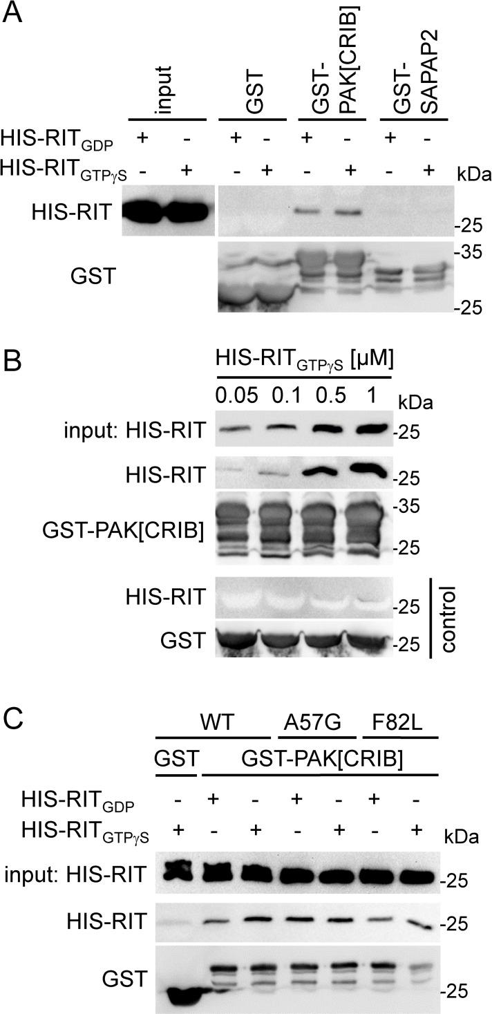 RIT1 directly interacts with PAK1. Recombinant His-tagged RIT1 wildtype (WT), <t>p.A57G</t> and p.F82L proteins (0.5 μM each) were loaded with <t>GDP</t> or non-hydrolyzable GTPγS as indicated, incubated with 1 μM GST-PAK[CRIB] bound to glutathione agarose, and precipitated. Samples were analyzed by immunoblotting using an anti-His antibody (precipitates and input) and an anti-GST antibody (precipitates). (A) RIT1 binds to PAK[CRIB]. To confirm specificity, recombinant GST-SAPAP2 (750 nM) and GST (1 μM) were used. (B) RIT1 GTPγS interacts with PAK[CRIB] in the nanomolar range. Final concentrations of His-RIT1 GTPγS are indicated in μM. As control, His-RIT1 GTPγS was incubated with GST alone (lower panels). (C) Both GDP- and GTPγS-loaded RIT1 mutants p.A57G and p.F82L interact with PAK[CRIB]. Data shown are representative of three (A and B) and two (C) independent experiments.