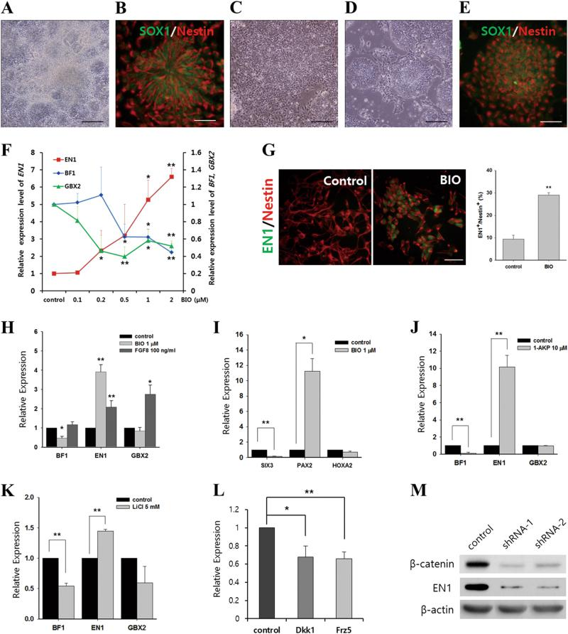 Activation of Wnt signal induces midbrain characteristics in human ESC-derived NPCs. a Efficient induction of neural rosette cells from human ESCs by co-treatment with dorsomorphin and SB431542. b Strong immunoreactivity for SOX1 and Nestin in neural rosette cells. Morphology of neural rosette cells expanding in either the absence ( c ) or the presence of 1 μM BIO ( d ). e NPCs treated with BIO maintained immunoreactivity for SOX1 and Nestin. f Treatment with BIO upregulated EN1 expression and downregulated expressions of BF1 and GBX2 in dose-dependent manner. g BIO treatment significantly increased the number of EN1-positive neural cells. h The inductive effect of BIO treatment on midbrain fate appeared to be more specific than that of FGF8. i Expression pattern of another set of regional markers ( SIX3 for forebrain; PAX2 for midbrain; and HOXA2 for hindbrain) supported the midbrain-biased fate of NPCs treated with BIO. Treatment with other known GSK3 inhibitors, 1-AKP ( j ) and LiCl ( k ), resulted in regionalization comparable to BIO treatment. l Treating NPCs with Wnt antagonists (100 ng/ml DKK-1 and 500 ng/ml frizzled-5) downregulated the endogenous level of EN1 transcript in NPCs. m Immunoblot for β-catenin and EN1 protein after introduction of two different β-catenin-specific shRNAs (shRNA-1 and shRNA-2). EN1 protein level was directly downregulated by β-catenin knockdown. β-actin was a loading control. All data are expressed as mean ± S.E.M. Statistical significance was estimated using Student's t test ( g , i , j , and k ) or one-way ANOVA ( f , h , and l ) from at least three independent experiments; * p