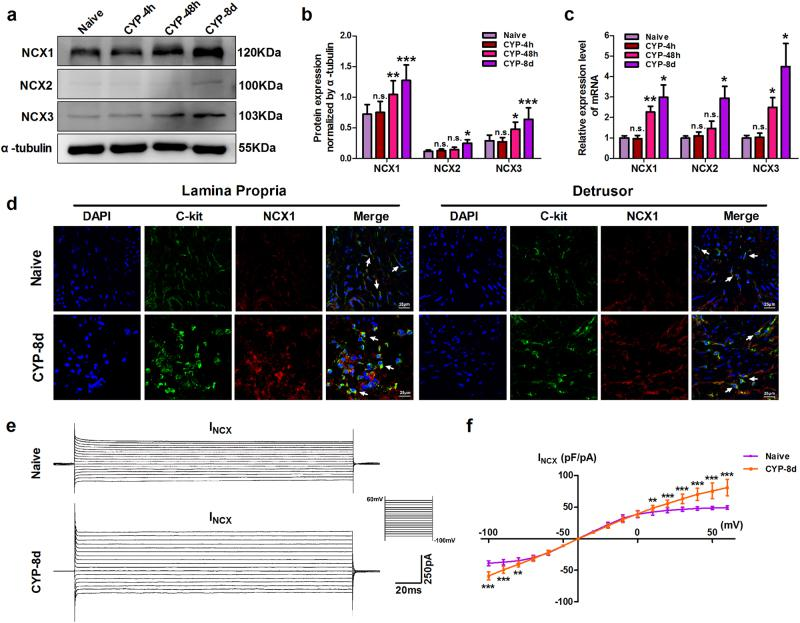 Na + /Ca 2+ exchanger (NCX) expression levels were significantly increased and the reverse mode of NCX was relatively activated in bladder ICC-LCs from CYP-8d rats. a – c The mRNA and protein expression levels of NCX1 and NCX3 were significantly increased in CYP-48h and CYP-8d rat bladders compared with those in naive and CYP-4h rat bladders, and increases in CYP-8d rat bladders were more significant; the mRNA and protein expression levels of NCX2 were only increased in CYP-8d rat bladders. d Changes in NCX1 expression (red) in bladder c-kit (green)-positive ICC-LCs (white arrows) were detected using IF staining. Bladder ICC-LCs from CYP-8d rats possessed higher NCX1 protein expression than those from naive rats. e , f NCX current (I NCX ) in isolated bladder ICC-LCs from naive and CYP-8d rats was evoked by a step potential ranging from −100 to +60 mV in increments of 10 mV for 200 ms, with a holding potential of −40 mV. The forward and reverse modes of NCX were elicited over a voltage range of −100 to −50 mV and −30 to +60 mV, respectively, and are exhibited as the bottom and upper part of the characteristic I NCX traces. When normalized to cell capacitance, the absolute value of the I NCX density in bladder ICC-LCs from CYP-8d rats significantly exceeded that in bladder ICC-LCs from naive rats over a voltage range of −100 to −80 mV (forward mode) and +10 to +60 mV (reverse mode). Notably, the increase in the reverse mode of NCX was more significant (the data represent the mean ± S.D., n = 8; * P