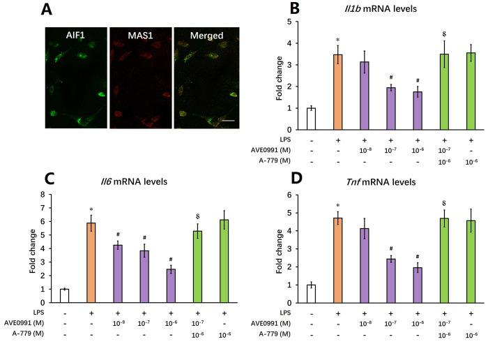 AVE0991 suppresses microglial-mediated inflammatory response through a MAS1 receptor-dependent manner. Primary microglia were directly isolated from the brain of 8-month-old SAMP8 mice. ( A ) The localization of MAS1 receptor on microglia was confirmed by double immunofluorescence staining. Scale bar=15 μm. Next, microglia were treated for 4 h with 100 ng/ml LPS with or without 4 h pre-incubation with AVE0991 (1×10 -8 , 1×10 -7 or 1×10 -6 M) in the presence or absence of A-779 (1×10 -6 M) and were harvested and lysed for analysis. ( B ) The mRNA levels of Il6 were investigated by qRT-PCR. ( C ) The mRNA levels of Ilb were investigated by qRT-PCR. ( D ) The mRNA levels of Tnf were investigated by qRT-PCR. In panel B - D, Gapdh was used as an internal control, and data were expressed as a fold change relative to non-treated microglia. All data were analyzed by one-way ANOVA followed by Tukey's post hoc test. Columns represent mean ± SD (n=4-6). * P