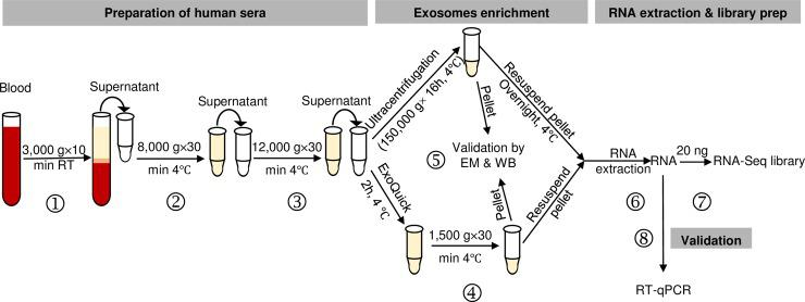Flow chart for evaluation of exosomal RNAs from cell-free sera as biomarkers for human diseases. Graphic summary of the workflow including time allotment for preparation for cell-free serum (steps ①-③), comparison of methods for exosome enrichment (step ④), validation by transmission electron microscopy (TEM) and immunoblotting for CD63 or other exosomal markers (step ⑤), RNA extraction (step ⑥), and preparation of RNA-Seq libraries (step ⑦). 10–100 nanograms RNA can be used for library preparation with the NEBNext Ultra Directional RNA Library Prep Kit. Step ② is an optional centrifugation step that can be included to ensure the most efficient removal of trace amounts of cell debris and shedding microvesicles. A validation step can be performed with RT-qPCR for specific candidate RNA following RNA-Seq analysis (step ⑧).
