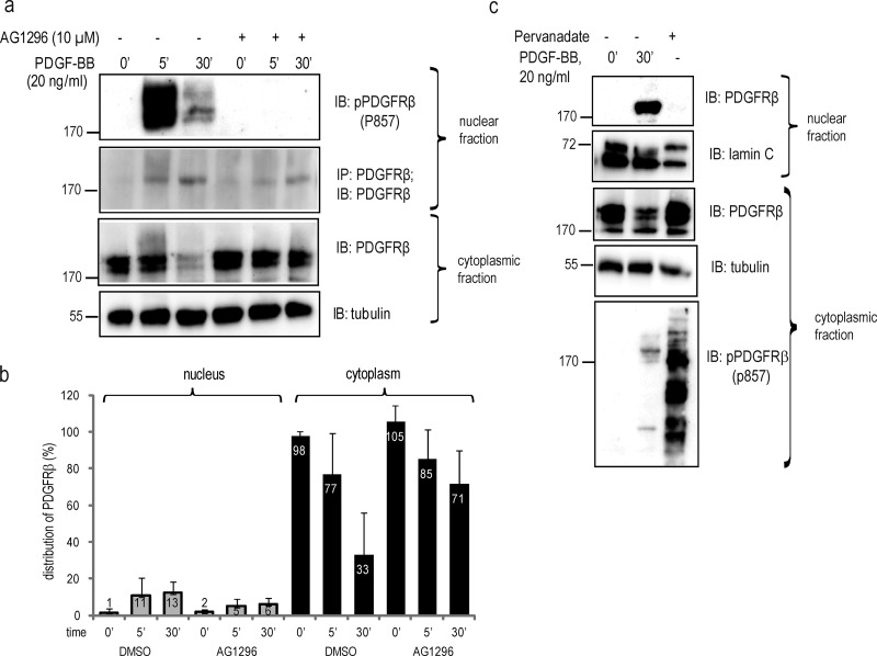PDGF-BB–induced nuclear transport of PDGFRβ is not quenched by receptor kinase inhibition. (a) PDGFRβ translocation to the nucleus upon inhibition of PDGFRβ kinase activity. Nuclear extracts were immunoblotted for pTyr857-PDGFRβ (top) or immunoprecipitated and immunoblotted with the PDGFRβ antibody ctβ (second panel). Cytoplasmic extracts were immunoblotted for PDGFRβ with the ctβ antibody (third panel) or α-tubulin (bottom). (b) Quantification of PDGFRβ distribution upon inhibition of receptor tyrosine kinase activity with AG1296. Immunoblots were quantified as described in Fig. 1 . Error bars indicate SD. Quantification was based on four independent experiments. (c) Cells were stimulated with PDGF-BB or phosphatase activity was inhibited with sodium pervanadate, and lysates were immunoblotted with total PDGFR antibody (Y92) or lamin A/C for nuclear fractions (top two panels) or total PDGFRβ, α-tubulin, and pPDGFRβ antibody for cytoplasmic fractions (three bottom panels). Molecular mass was measured in kilodaltons. IB, immunoblotting; IP, immunoprecipitation.