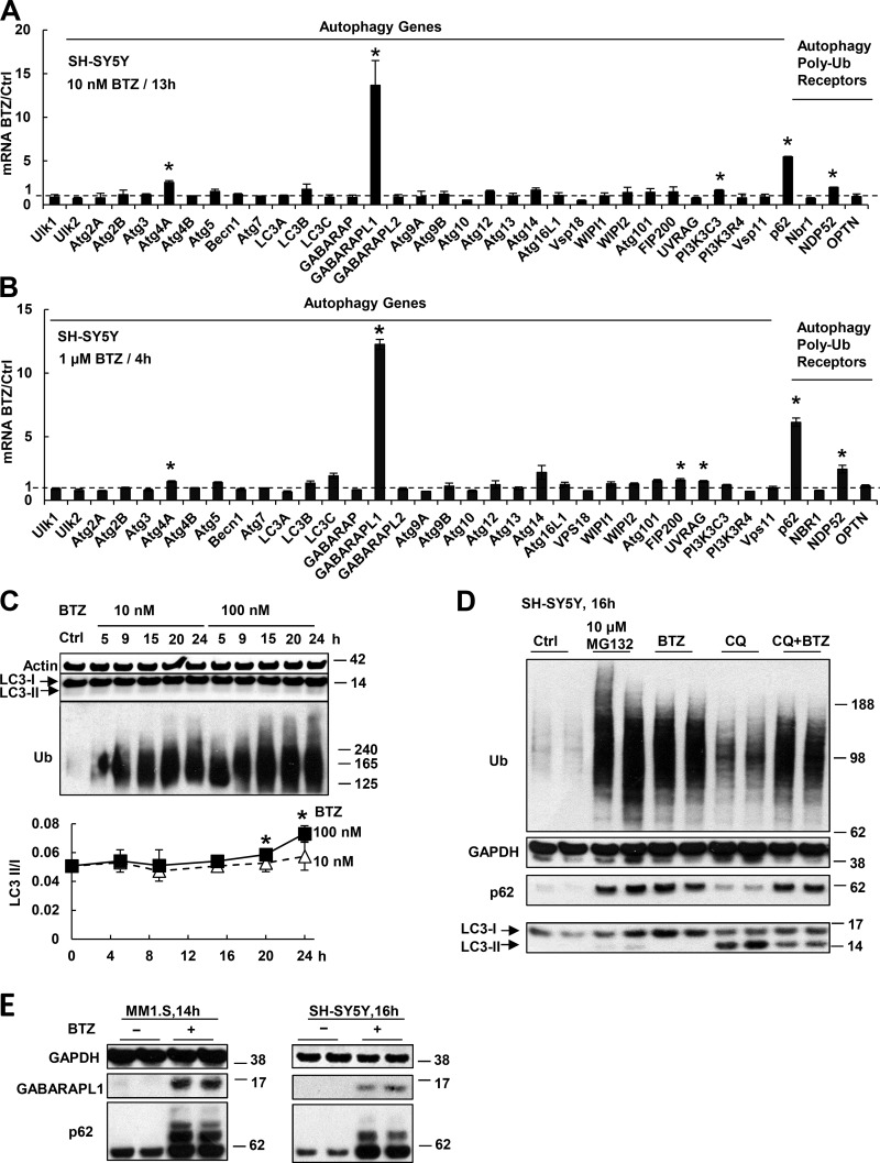 Proteasome inhibitor treatment causes rapid induction of p62 and GABARAPL1 but not other Atg genes or Ub receptors. (A and B) SH-SY5Y cells were treated with 10 nM BTZ for 13 h (A) or 1 µM for 4 h (B). The mRNAs of all Atg proteins or Ub receptors were measured in this and other figures by real time RT-PCR. (C) Autophagy was activated only after prolonged treatment with a high concentration of proteasome inhibitor. SH-SY5Y cells were treated with 10 or 100 nM BTZ for 5–24 h. To measure autophagy, the levels of LC3-I and lipidated (autophagosome-bound) LC3-II were measured (upper) by Western blotting, and the LC3-II/I ratio was quantified (lower). *, LC3-II/I ratio in cells treated with 100 nM BTZ is higher than that in untreated cells (P