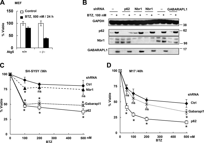 Autophagy deficiency ( Atg5 −/− MEFs) or knockdown of p62 or GABARAPL1 but not Nbr1 increased cell sensitivity to killing by BTZ. (A) Atg5 −/− MEFs lost viability much more than WT cells after BTZ treatment. (B) Confirmation of stable knockdown of p62 , Nbr1 , or GABARAPL1 by shRNA in untreated or BTZ-treated (16 h) SH-SY5Y cells. Molecular masses are given in kilodaltons. (C) SH-SY5Y cells expressing sh-p62 or sh-GABARAPL1 but not sh-Nbr1 lost viability more than WT cells did when treated with BTZ for 36 h. (D) Knockdown of p62 or GABRAPL1 also caused M17 cells to lose viability more than WT cells when treated with BTZ for 40 h. Viability was measured with the MTS assay. *, P