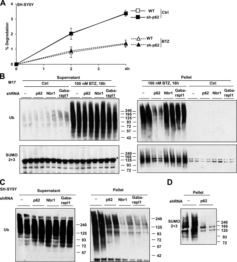 p62 knockdown in neuroblastoma cells did not reduce protein degradation or increase levels of Ub conjugates but impaired the buildup of polyubiquitinated and polysumoylated proteins in inclusions. (A) p62 knockdown (sh-p62) did not affect the ability of SH-SY5Y cells to degrade long-lived proteins when treated or not with 1 µM BTZ to completely inhibit the proteasome. n = 6. (B) In M17 cells treated with BTZ, stable knockdown of p62 but not Nbr1 or GABARAPL1 reduced the buildup of Ub or SUMO2/3 conjugates in the pellet that contains inclusions. In the supernatant, there are no SUMO2/3-conjugated proteins, and the bands recognized by the SUMO2/3 antibody (asterisk) are not specific. (C and D) In SH-SY5Y cells treated for 16 h with 100 nM BTZ, knockdown of p62 reduced Ub (C) and SUMO2/3 (D) conjugates in the pellet. (C) Knockdown of Nbr1 and GABARAPL1 also reduced Ub conjugates in the pellet. Molecular masses are given in kilodaltons. Error bars indicate SD.