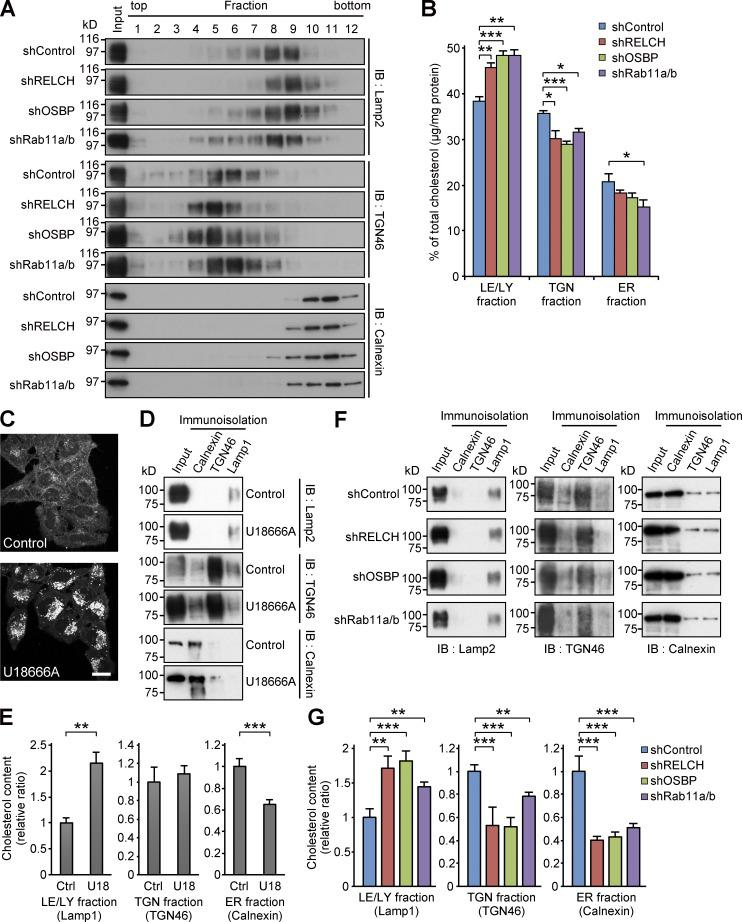 RELCH, OSBP, and Rab11 depletion results in less cholesterol accumulation in the TGN and ER. (A and B) The homogenates from the shRNA-expressing HeLa cells were fractionated using a Histodenz step density gradient. (A) The fractions were immunoblotted (IB) with antibodies against TGN46, calnexin, and Lamp2. (B) Percentages of cholesterol (µg/mg protein) in the TGN (fractions 4–6), LEs/lysosomes (LE/LY; 7–9), or ER (10 and 11) in the total fractions are shown in the bar graph. (C) HeLa cells were treated with 2 µg/ml U18666A for 16 h and stained with Filipin. Bar, 20 µm. (D–G) Immunoisolation of ER, TGN, and LE/lysosome from the PNS derived from the U18666A-treated (D and E) or RELCH-, Rab11a/b-, and OSBP-depleted cells by shRNAs (F and G). ER, TGN, and LE/lysosome membranes were isolated using calnexin, TGN46, and Lamp1 antibodies, respectively. (D and F) The isolated samples were immunoblotted with calnexin, TGN46, and Lamp2 antibodies. (E and G) Quantification of the cholesterol content in the isolated membranes (relative to the control samples). Data are expressed as means ± SEM from at least three independent experiments. *, P