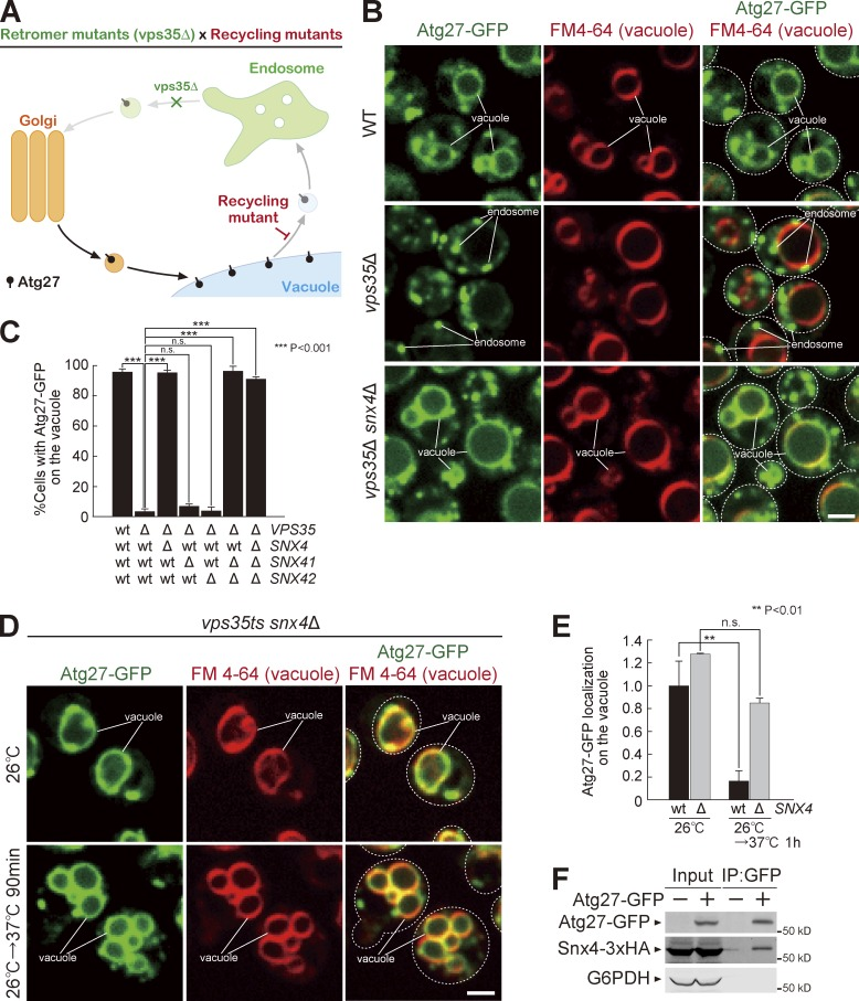 The Snx4 complex mediates Atg27 vacuole-to-endosome retrograde transport. (A) Schematic predicting Atg27 accumulation on the vacuole membrane in retromer and recycling double mutants. (B) Atg27-GFP localization in vps35 Δ snx4 Δ cells after 1 h of rapamycin treatment. (C) The percentage of cells with Atg27-GFP on the vacuole. (D) Atg27-GFP localization in vps35ts snx4 Δ mutants after shift to 37°C with rapamycin treatment for 1 h. (E) Quantification of Atg27-GFP fluorescence intensity on the vacuole from D and Fig. S2 C. (F) Cells were treated with rapamycin for 1 h, Atg27-GFP was immunoprecipitated, and interacting Snx4-3XHA was detected by immunoblot. For all quantification shown in this figure, at least 100 cells were measured, and the data from three independent experiments were used for statistical analysis; two-tailed Student's t test. Error bars represent SD. IP, immunoprecipitation; n.s., not significant. Bar, 2 µm.
