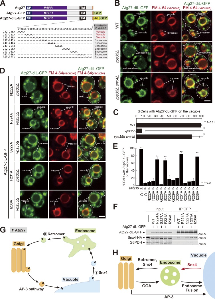 Specific residues in the cytoplasmic tail of Atg27 are required for its retrograde traffic. (A) Schematic of Atg27 mutational analysis from Fig. S3 C. (B) Atg27-diL-GFP localization after 1 h of rapamycin treatment. (C) The percentage of cells with Atg27-diL-GFP on the vacuole in B. (D) Atg27-diL-GFP mutant localization in vps35 Δ cells after 1 h of rapamycin treatment. (E) The percentage of cells with Atg27-diL-GFP on the vacuole in D and Fig. S3 D. (F) Cells were treated with rapamycin for 1 h and Atg27-diL immunoprecipitated. Interacting Snx4-3XHA mutants were detected by immunoblotting. (G) Model for Atg27 trafficking. Atg27 is delivered to the vacuole membrane via the AP-3 pathway and then recycled from the vacuole membrane to the endosome by the Snx4 complex. Atg27 is then retrieved from the endosome by retromer. (H) Membrane trafficking pathways in yeast cells. For all quantification shown in this figure, at least 100 cells were measured, and the data from three independent experiments were used for statistical analysis; two-tailed Student's t test. Error bars represent SD. IP, immunoprecipitation. Bars, 2 µm.
