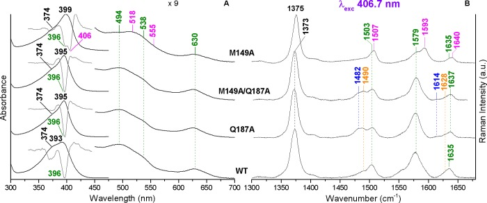 UV–vis absorption and second derivative (D 2 ) spectra (Panel A) and RR spectra in the high frequency region (Panel B) of the coproheme complexes with WT and the Q187A, M149A/Q187A, and M149A mutants. The band wavelengths and wavenumbers assigned to 5cHS, 5cQS, 6cHS, and 6cLS species are indicated in orange, olive green, blue, and magenta, respectively. The spectra have been shifted along the ordinate axis to allow better visualization. The 450–700 nm region of the spectra in Panel A is expanded 9-fold. Experimental conditions of the RR spectra: 406.7 nm excitation wavelength, laser power at the sample of 5 mW, average of 9 spectra with a 90 min integration time (WT), 14 spectra with a 140 min integration time (Q187A), 10 spectra with a 100 min integration time (M149A/Q187A), and 4 spectra with a 40 min integration time (M149A).