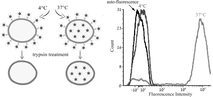 Characterization of the active transport of S15-APT The impact of temperature on cellular accumulation of S15-APT QDs (100 nM) in A549 cells was studied at 4° C vs. 37° C using flow cytometry. A549 cells were incubated for 2 h in growth medium in the absence of S15-APT QDs or in the presence of 100 nM S15-APT QDs at 4° C, or at 37° C. Trypsin treatment was applied to remove the putative target cell surface protein to which S15-APT QDs presumably bind. Cellular fluorescence was determined using flow cytometry. Left panel: schematic diagram of the experimental principle; Right panel: Mean fluorescence intensity.