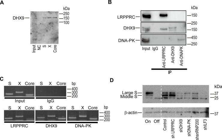 DExH-box helicase 9 (DHX9) knockdown downregulates viral protein levels ( A ) DHX9 co-precipitated with HBV RNAs. RNAs corresponding to each region (S, X, and Core) were mixed with HepG2 cellular lysates in vitro and precipitated. Co-precipitated protein was blotted with anti-DHX9. Five percent of the cell lysates was used as an input. NC: negative control (no RNA). A representative image of two independent experiments is shown. ( B ) HepAD38 cells with hepatitis B virus (HBV) expression were used for the immunoprecipitation of the indicated proteins. Western blotting was used to confirm immunoprecipitation of the targeted proteins. Five percent of the cell lysates was used as an input. Normal rabbit IgG was used as a negative control for the immunoprecipitation. A representative image of two independent experiments is shown. ( C ) RNA was extracted from the precipitants by the indicated proteins and was subjected to reverse transcription-polymerase chain reaction (RT-PCR) to determine if the indicated RNA regions (S, X, Core) were included. A representative image of two independent experiments is shown. ( D ) HepAD38 cells with stably expressing short hairpin RNAs (shRNAs) against the indicated proteins were used for determining the expression levels of the HBV S protein. Before the assay, doxycycline (1.0 μg/ml) was added to the cells for 3 days to shut off the newly synthesized HBV transcripts. HepAD38 cells continuously treated with (Off) or without (On) doxycycline were included as controls. A representative image of two independent experiments is shown.