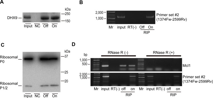 DHX9 and ribosomal proteins are associated with viral circular RNA ( A ) HepAD38 cells with or without HBV expression (On or Off) were used for DHX9 precipitation. Normal rabbit IgG was used for the negative control (NC). DHX9 precipitation was confirmed by western blotting. A representative image of two independent experiments is shown. ( B ) RNAs were extracted from the immunoprecipitations and reverse transcribed using random primers. PCR was performed using primer set #2. RNAs that were not reverse transcribed were included as negative controls (RT(−)). Mr, DNA marker. A representative image of two independent experiments is shown. ( C ) Ribosomal P0/P1/P2 protein (Ribo0-2) was immunoprecipitated as described in (a). Five percent of the cell lysates was used as an input. A representative image of two independent experiments is shown. ( D ) Extracted RNAs from the immunoprecipitations (RIP) were treated with or without RNase R, followed by reverse transcription using random primers. PCR was performed using primer set #2 and MCl1 gene primers as a control. RNA extracted directly from cells was used as an input. RNAs that were not reverse transcribed were included as negative controls (RT(−)). Mr, DNA marker. A representative image of two independent experiments is shown.
