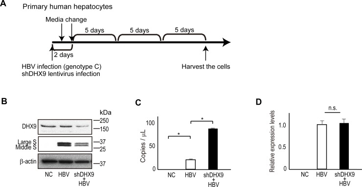 DHX9 regulates viral circular RNA production and viral protein levels ( A ) A scheme for HBV infection in human primary hepatocytes. At HBV infection, lentivirus-expressing shDHX9 was also applied simultaneously to knock down DHX9. Cells were harvested at 17 days after infection. ( B ) Cell lysates were subjected to western blotting to determine DHX9 and HBV surface protein levels in DHX9-knockdown cells. ( C ) RNAs extracted from the HBV-infected human primary hepatocytes were treated with DNase and subsequently with RNase R, followed by reverse transcription using random primers. cDNAs were subjected to droplet digital PCR using Taqman primers for the absolute quantification of HBV circular DNA. The measurement was performed in triplicate. Data represent the mean ± standard error (SE) of the absolute copy numbers from two independent experiments. * p