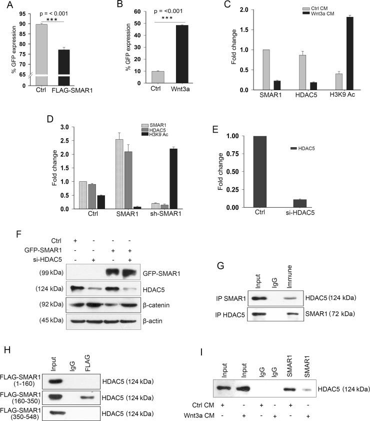 SMAR1 suppresses β-catenin promoter activities FACS analysis of pEGFP1-β-catenin GFP expression ( n = 3, SD) after; ( A ) Co-transfection with FLAG-vector or FLAG-SMAR1, and ( B ) Treatment with 200 ng/mL rh Wnt3a ligand. ( C ) ChIP showing occupancy of SMAR1, HDAC5 and H3K9 Ac (mean ± SD, n = 3) after Wnt3a CM stimulation. ( D ) ChIP showing occupancy of SMAR1, HDAC5 and H3K9 Ac (mean ± SD, n = 3) after SMAR1 overexpression or knockdown. ( E ) ChIP showing occupancy of HDAC5 (mean ± SD, n = 3) after si-HDAC5 knockdown in HCT116 cells. ( F ) Expression of β-catenin after knockdown with 2μg si-HDAC5 plasmid. ( G ) Immunoprecipitation of SMAR1 with HDAC5. ( H ) Immunoprecipitation of HDAC5 with various truncations of SMAR1. ( I ) Immunoprecipitation of HDAC5 with SMAR1 after Wnt3a CM stimulation.