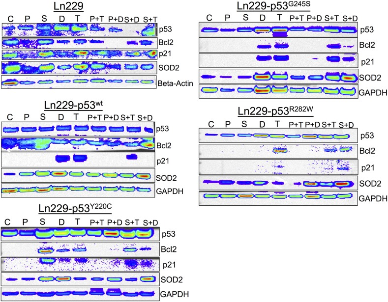 Differential expression of p53 responsive pathway proteins (p21, Bcl2 and SOD2) in response to the treatment of PhiKan083 and SCH529074 in combination with Dox and TMZ (C: Control, P: PhiKan083-50 μM, S: SCH529074-1. 25 μM, D: Dox-1 μM, T: TMZ-100 μM, P+D: PhiKan083-50 μM and Dox-1 μM, P+T: PhiKan083-50 μM and TMZ-100 μM, S+D: SCH529074-1.25 μM and Dox-1 μM, S+T: SCH529074-1.25 μM and TMZ-100 μM)