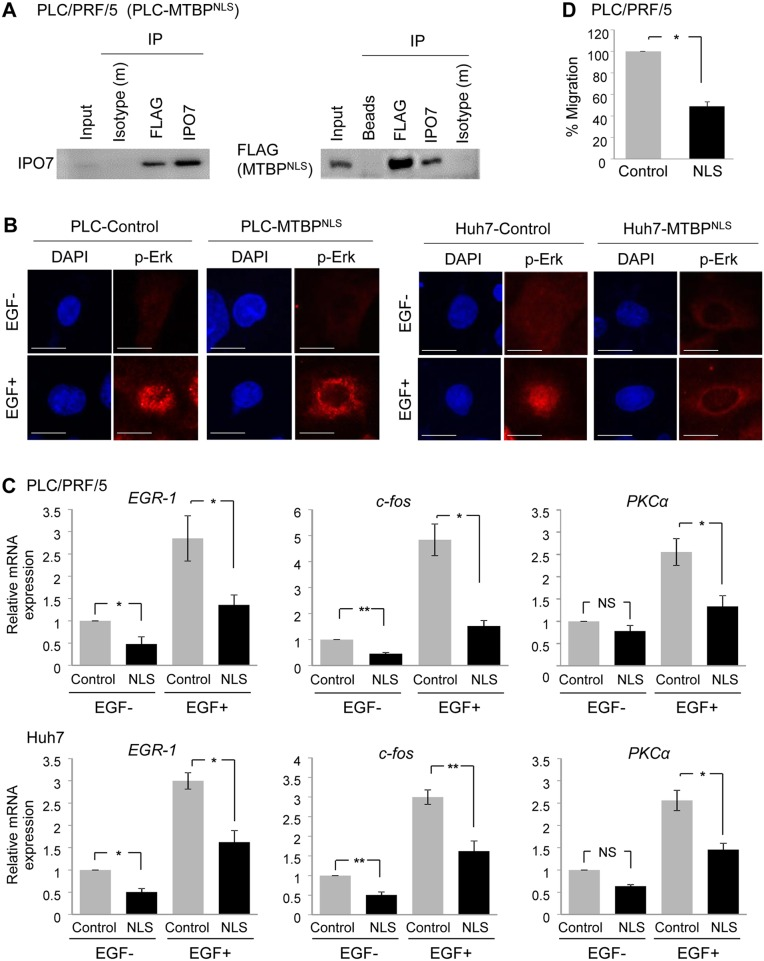 Cytoplasmic MTBP plays a role in inhibiting the Erk1/2-Elk-1 signaling (A) Co-immunoprecipitation studies between a NLS mutant MTBP (MTBP NLS ) and IPO7 using protein lysates (~200 μg) from PLC/PRF/5 cells expressing FLAG-tagged MTBP NLS . MTBP NLS was precipitated using anti-FLAG M2 affinity gel. Isotypes and protein A/G agarose beads were used as negative controls. 10% of the total amount of protein lysate (~20 μg) was used for input. (B) Immunofluorescence studies for p-Erk following treatment with solvent (EGF-) or 50 ng/ml of EGF for 30 min using PLC/PRF/5 (left) and Huh7 (right) cells with (MTBP NLS ) or without (control) overexpression of MTBP NLS . Scale bar, 25 μm. (C) Results of qRT-PCR to measure EGR1 , c-fos , and PKCα mRNA expression using PLC/PRF/5 (top) and Huh7 (bottom) cells infected with lentiviral vectors encoding empty (control, grey) or MTBP NLS cDNA (NLS, black), with (+) or without (−) 50 ng/ml of EGF stimulation for 15 min. Data are normalized by values of GAPDH mRNA. Error bars: means ± S.D. from three independent experiments. * , P