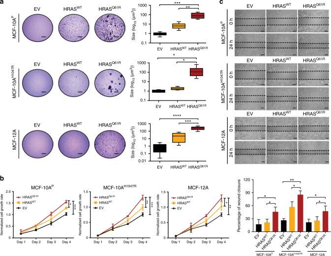 Mutant HRAS Q61R expression induces transformation and growth in non-malignant breast epithelial cells. a Representative images of soft agar anchorage-independent growth assay of parental MCF-10A PIK3CA -wild-type (MCF-10A P ), MCF-10A PIK3CA H1047R-mutant (MCF-10A H1047R ), and MCF-12A cells stably expressing empty vector (EV), HRAS-wild-type (HRAS WT ), or HRAS Q61R-mutant (HRAS Q61R ) protein (scale bars, 2 mm). Boxplots showing the quantification of the size of colonies (see Methods). The mean value of the size of colonies, and the 75th and 25th percentiles are displayed at the top and bottom of the boxes, respectively. b MTT cell proliferation assay of MCF-10A P , MCF-10A H1047R , and MCF-12A cells stably expressing EV (black), HRAS WT (yellow), or mutant HRAS Q61R (red) protein. c The migratory effects of MCF-10A P , MCF-10A H1047R , and MCF-12A cells stably expressing EV, HRAS WT , or mutant HRAS Q61R were analyzed using the wound-healing assay at 0 and 24 h. Scale bars, 500 µm. In a − c , data are representative of three independent experiments. Error bars, s.d. of mean ( n = 3). n.s. = not significant, * P