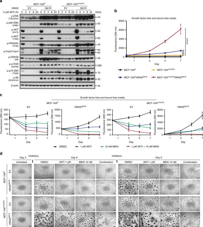 Impact of AKT and MEK inhibition on PI3K-AKT and MAPK signaling pathways and proliferation in non-malignant breast epithelial cells expressing mutant HRAS Q61R . a Representative western blot analysis of p-ERK1/2 (T202/Y204), p-p90 RSK (S380), p-AKT (S473), p-AKT (T308), p-PRAS40 (T246), p-FOXO1/3a/4, p-GSK3β (S9), p-mTOR (S2448), p-p70 S6K (T389), and p-S6 (S240/244) protein in MCF-10A P and MCF-10A H1047R cells stably expressing empty vector (EV) or mutant HRAS Q61R treated with 2 µM AKT inhibitor (AKTi, MK2206) at different time points. β-actin was used as a protein loading control. Experiments were repeated at least twice with similar results . b Cell proliferation assay of MCF-10A P and MCF-10A H1047R cells stably expressing EV or mutant HRAS Q61R . **** P
