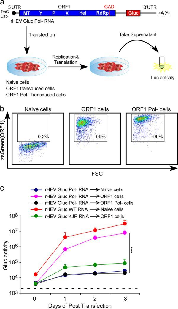 HEV ORF1 is able to function in trans to replicate HEV RNA. (a) Schematic representation of the ORF1 transcomplementation system. (b) Representative flow cytometry plots demonstrating efficient ORF1 expression. HepG2C3A cells were transduced with pLVX-ORF1-IRES-zsGreen (wild type [wt] or GAD mutant) or not transduced. Flow cytometric analysis was performed 3 days following transduction to quantify the frequencies of ORF1-expressing cells. FSC, forward scatter. (c) Replication kinetics of HEV RNA in ORF1 transcomplemented HepG2C3A cells. Cell culture supernatants from naive HepG2C3A cells, or HepG2C3A cells transduced with HEV ORF1 or its GAD mutant, were collected at the indicated time points posttransfection with rHEVΔORF2/3[Gluc] Pol- RNA or RNA from its mutants, and Gaussia luciferase (Gluc) activity was quantified. Values are means plus standard deviations (SD) (error bars) ( n = 3). Values that are significantly different ( P