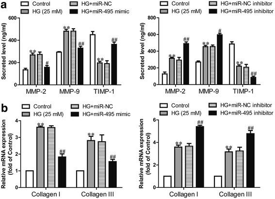 Effects of miR-495 on high glucose-induced imbalance of MMP-TIMP and collagen synthesis in human CFs. CFs were transfected with miR-495 inhibitor or mimic for 48 h, and then treated with 5.5 or 25 mM glucose for 24 h. HG + miR-NC indicates CFs transfected with the miR-495 inhibitor before treatment with high glucose; HG + miR-495 mimic indicates CFs transfected with the miR-495 mimic before treatment with high glucose. a The secreted MMP-2, MMP-9 and TIMP-1 proteins in the supernatants of CFs were detected using ELISA assays. b The mRNA expressions of collagen I and III were determined via quantitative RT-PCR. The data shown are means ± SEM ( n = 6). ** p