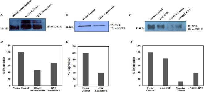 Determination of IGF-1R sialylation levels using Lectin affinity assay: ( A ) Sialylation status of IGF-1R: Equal amount of cell lysates from vector control cells were treated with 100 mU of C. perfringen s sialidase and untreated lysates from GNE knockdown cells were separated on 8% SDS-PAGE followed by immunoblotting with anti-α IGF-1R. ( B ) SNA Lectin affinity assay: Sialylated IGF-1R from GNE knockdown cells and scrambled shRNA vector control cell was pulled down using biotin labelled SNA/streptavidin-coupled agarose and immunoblotted with anti-α IGF-1R. ( C ) Sialylated IGF-1R complexes from GNE mutant and pcDNA3 transfected vector control cells were pulled down using biotin labelled SNA/streptavidin-coupled agarose and immunoblotted with anti-α IGF-1R. Sialylated IGF-1R complexes from 100 mU neuraminidase treated vector control cells that were pulled down using biotin labelled SNA/streptavidin-coupled agarose served as negative control in this experiment. Equal amount of protein was used as input lysates. ( D – F ) are showing representative densitometry graphs of ( A – C ), respectively, normalized to vector control.