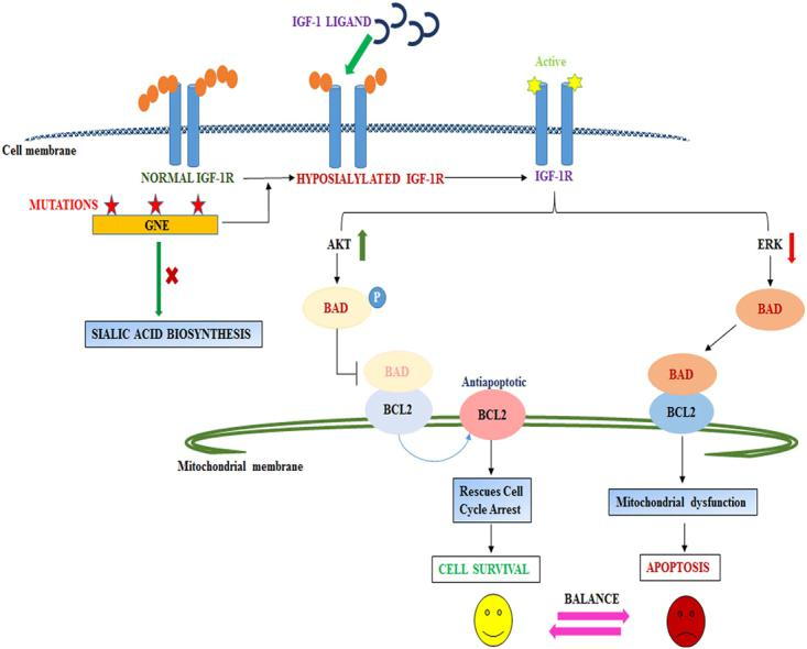 Proposed Model: The figure shows that mutation in GNE inhibits sialic acid synthesis that may cause hyposialylation of IGF-1R. IGF-1R gets activated upon IGF-1 ligand binding and transduces the downstream signal to activate AKT that phosphorylate BAD leading to its dissociation from BCL2 which is anti-apoptotic signal to rescue cell cycle arrest and cell happily survives. Simultaneously, ERK may be downregulated in hyposialylated cells to cause dephosphorylation of BAD and its association with BCL2 continues to mediate mitochondrial dysfunction and cell apoptosis. A balance between cell survival and apoptosis pathway will determine the cell fate.