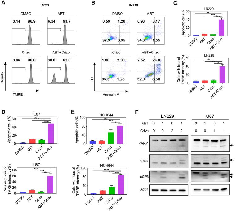 Enhanced apoptosis induction and dissipation of mitochondrial membrane potential by c-MET and Bcl-2/Bcl-xL inhibition. ( A) LN229 GBM cells were treated with ABT263 (ABT), Crizotinib (Crizo) or the combination of both and analyzed for mitochondrial membrane potential by TMRE staining with subsequent flow cytometry. ( B ) LN229 GBM cells were treated as in A, stained with Annexin V/propidium iodide and analyzed by multi-parametric flow cytometry. ( C–E ) Quantifications of Annexin and TMRE staining flow cytometric results in LN229, U87 and stem-like GBM cells. Shown are means and SD. n = 3. ( F ) LN229 and U87 GBM cells were treated with ABT263, Crizotinib (Crizo) and the combination treatment (1d). Whole cell protein lysates were prepared and analyzed by conventional Western blotting for the expression of PARP, cCP9 (cleaved caspase 9), cCP3 (cleaved Caspase-3). Actin serves as loading control. Arrows highlight the cleavage fragments of the respective proteins. Concentrations are in μM.