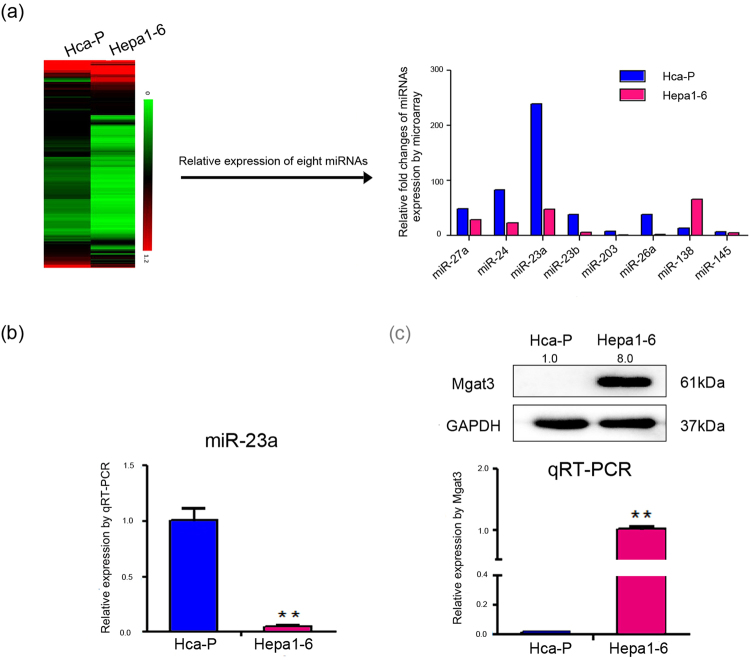 Constitutive expression of miR-23a and Mgat3 in mouse HCC cell lines. ( a ) miRNA microarray was performed to compare the miRNA expression profiles of Hca-P and Hepa1–6 cells (left) 27 . The relative expression of miR-23a and several miRNAs, which are related to tumor malignancy 9 , 10 , 16 , 20 , 21 , 28 , 29 , measured by microarray is displayed as a histogram (right). ( b ) The relative expression of miR-23a in Hca-P and Hepa1–6 cells as measured by qRT-PCR. ( c ) Mgat3 expression level in Hca-P and Hepa1–6 cells, as measured by Western blotting (upper) and qRT-PCR (below). The numbers upside WB figure present relative intensity of the bands normalized by corresponding GAPDH bands. Data are presented as the median with error bars (*p